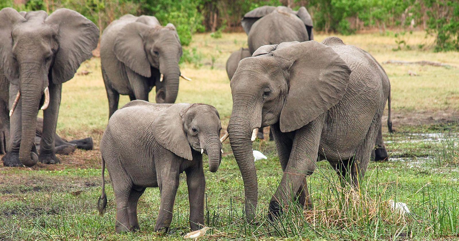 Elefantes en Dynasties. Documentales sobre el planeta.