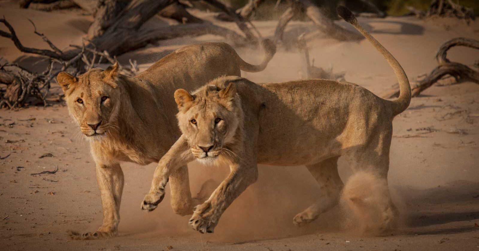 Leones adaptados al desierto de Namibia, en Africa.