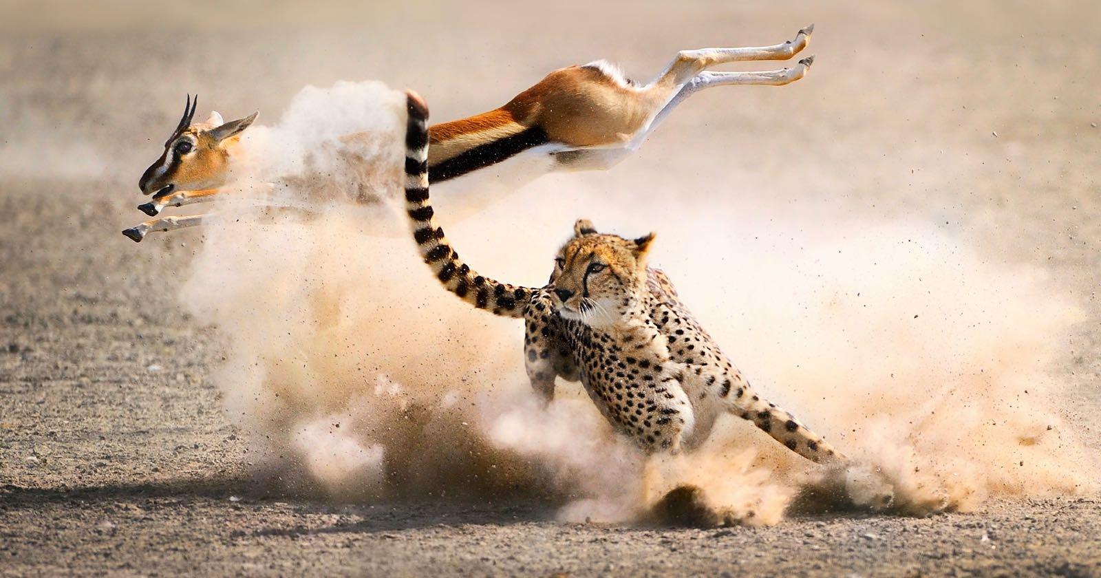 Proceso de caza de un guepardo en The Hunt.