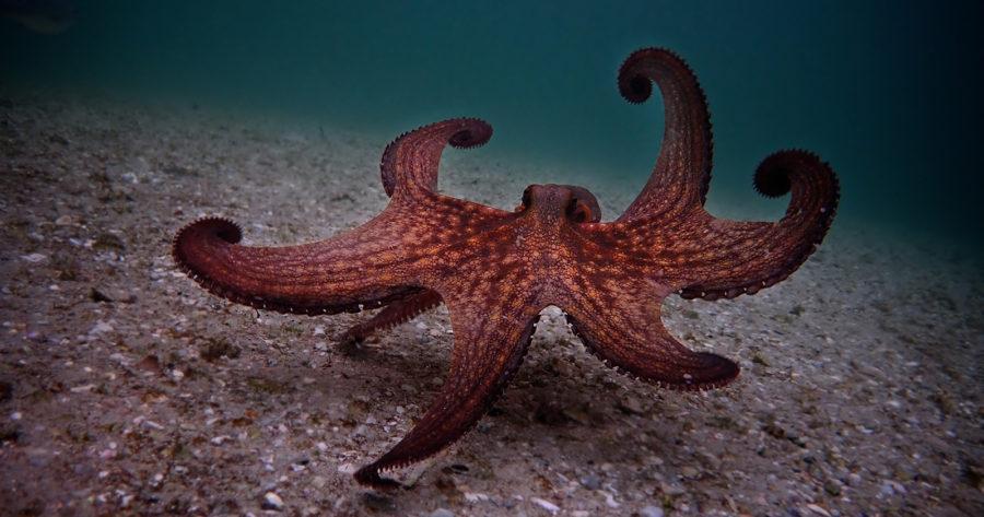 Un pulpo común, de color anaranjado, moviéndose en el fondo del mar. Escena del documental Mi maestro el pulpo